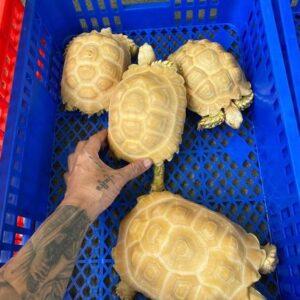 Albino Sulcata tortoises